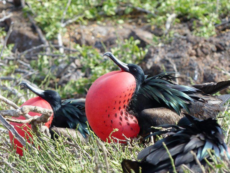 Male Frigate Birds, Galápagos Islands, Ecuadors