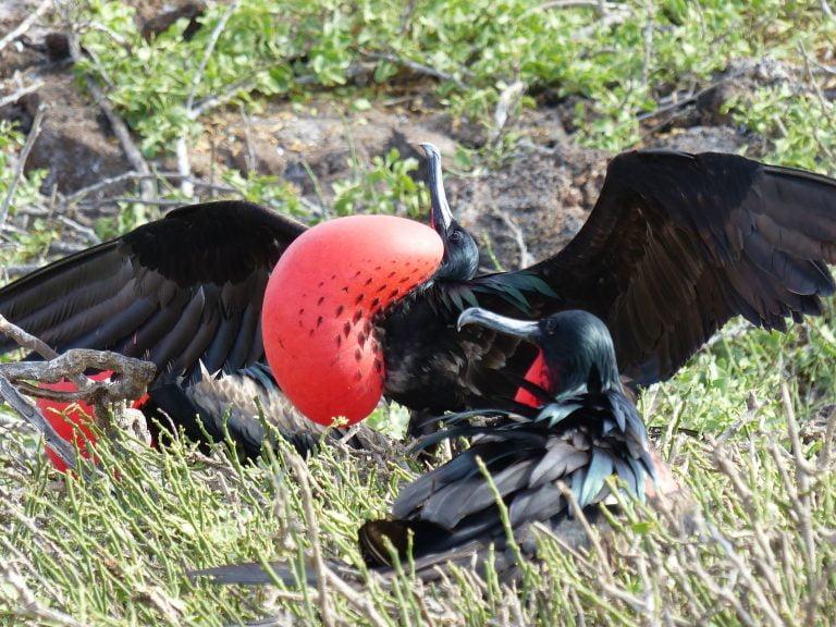 Male Frigate Bird, Galápagos