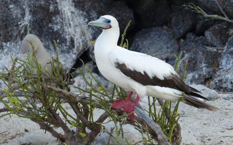 Red-Footed Booby, Genovesa Island, Galápagos, Ecuador
