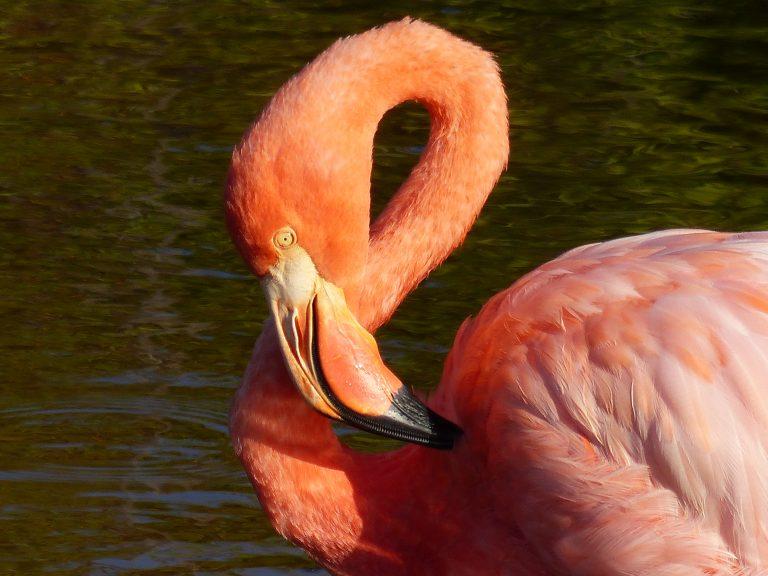 Flamingo, Isabela Port Villamil, Galápagos, Ecuador