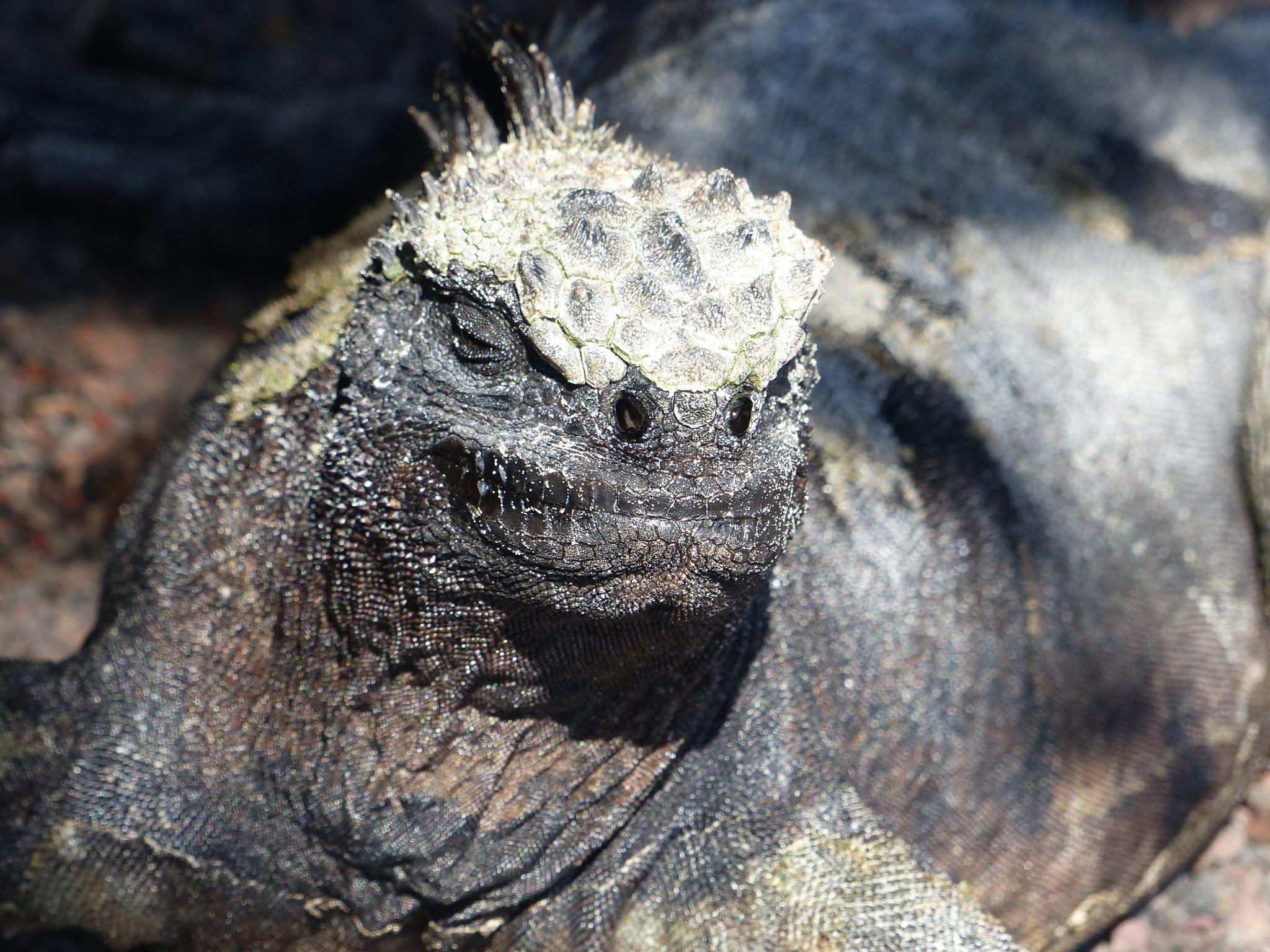 Marine Iguana, Isabela Port Villamil, The Galápagos, Ecuador