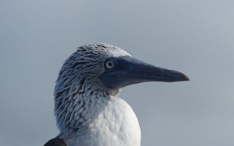 Blue Footed Booby, Galápagos Islands, Ecuador