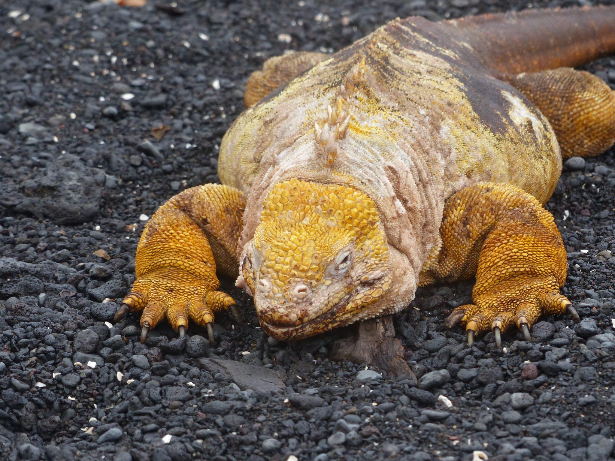 Land Iguana, Isabela Island, Urbina Bay, Galápagos, Ecuador