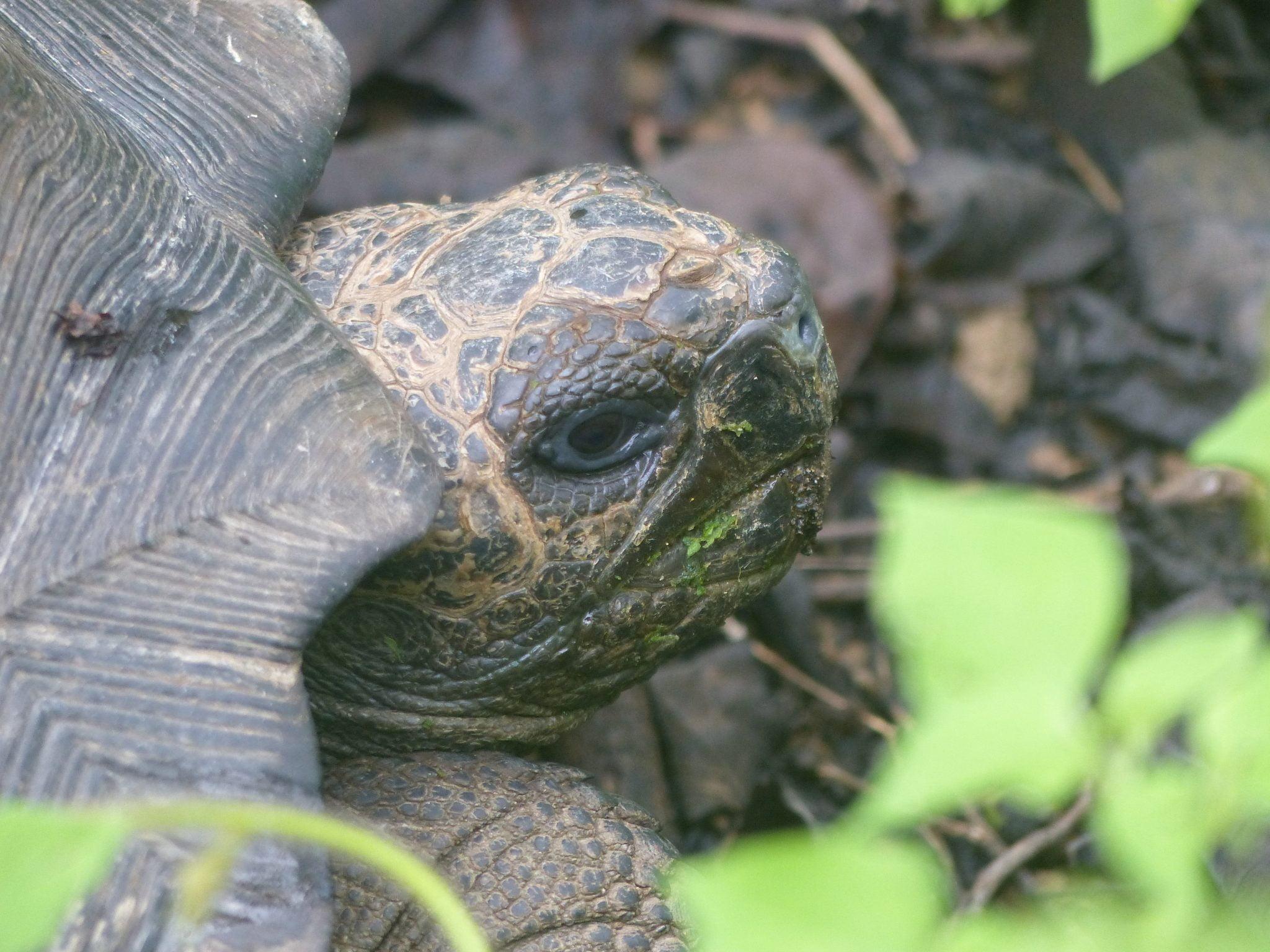 Urbina Bay, Giant Tortoise, Galápagos, Ecuador