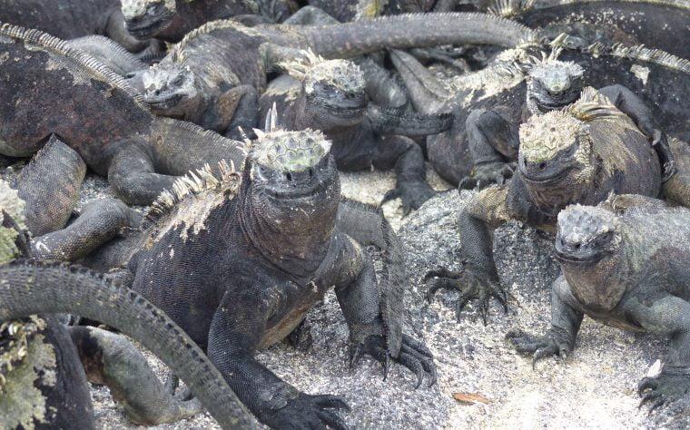 Marine Iguana, Galápagos Islands, Ecuador