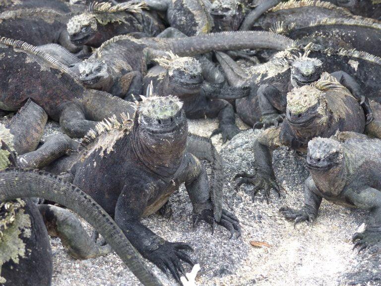 Marine Iguanas, Fernandina Island, The Galápagos, Ecuador