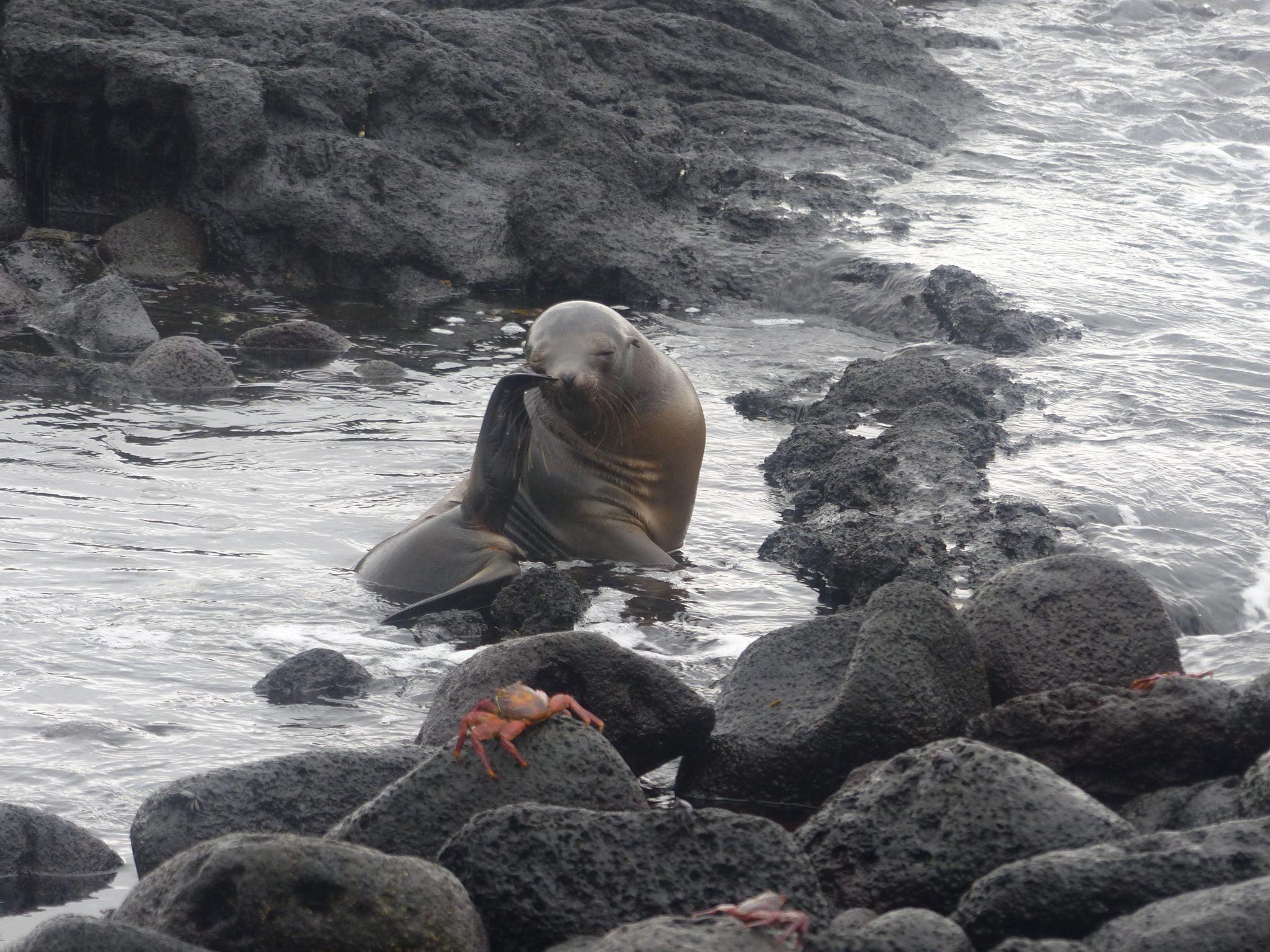 Sea Lion & Sally Lightfoot Crab, Punta Espinoza, Galápagos, Ecuador