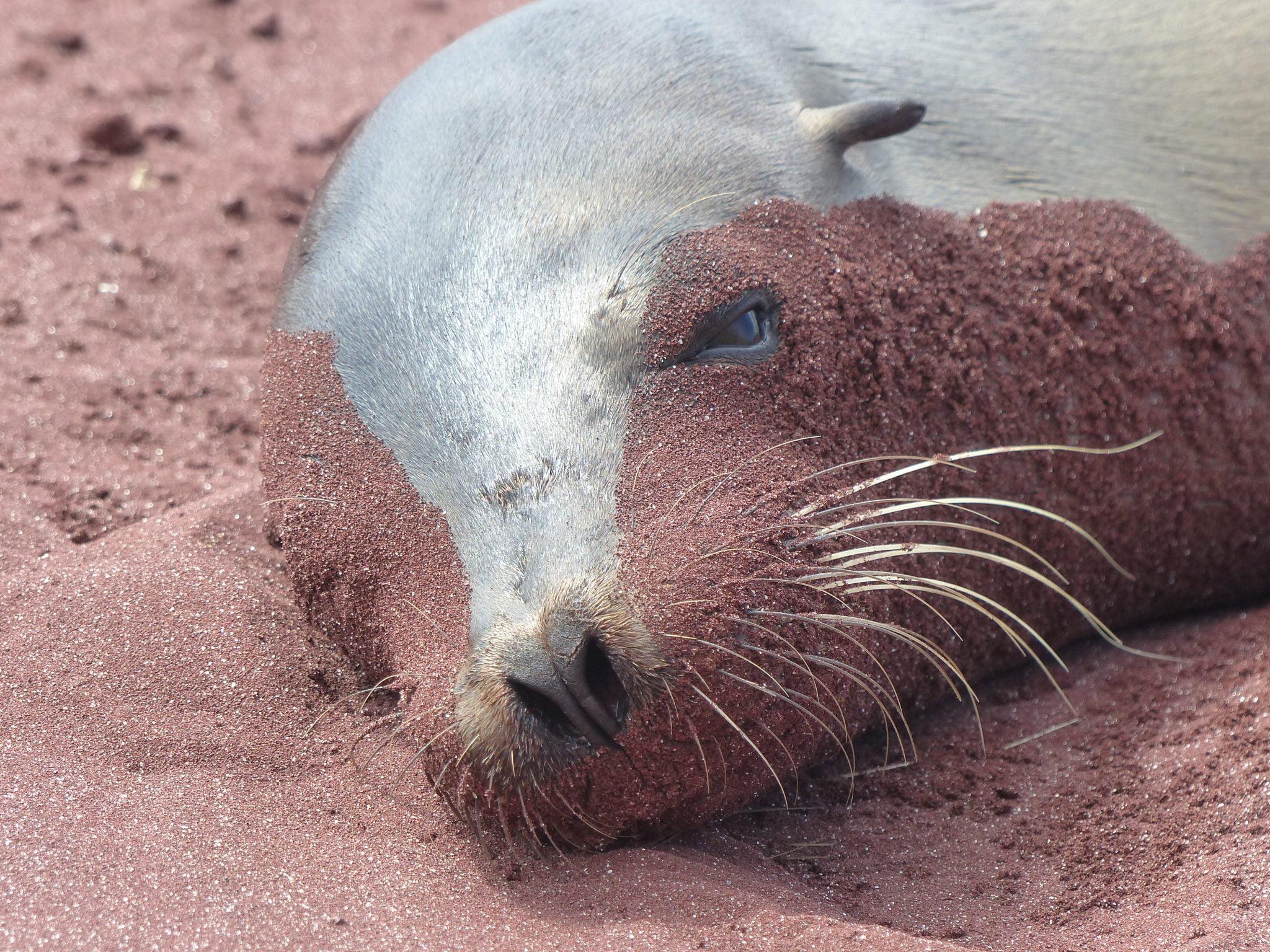 Red sand covered Sealion, Rabida Island, Galápagos