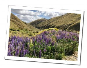 A view of beautiful purple flowers and green hills, Queenstown, New Zealand