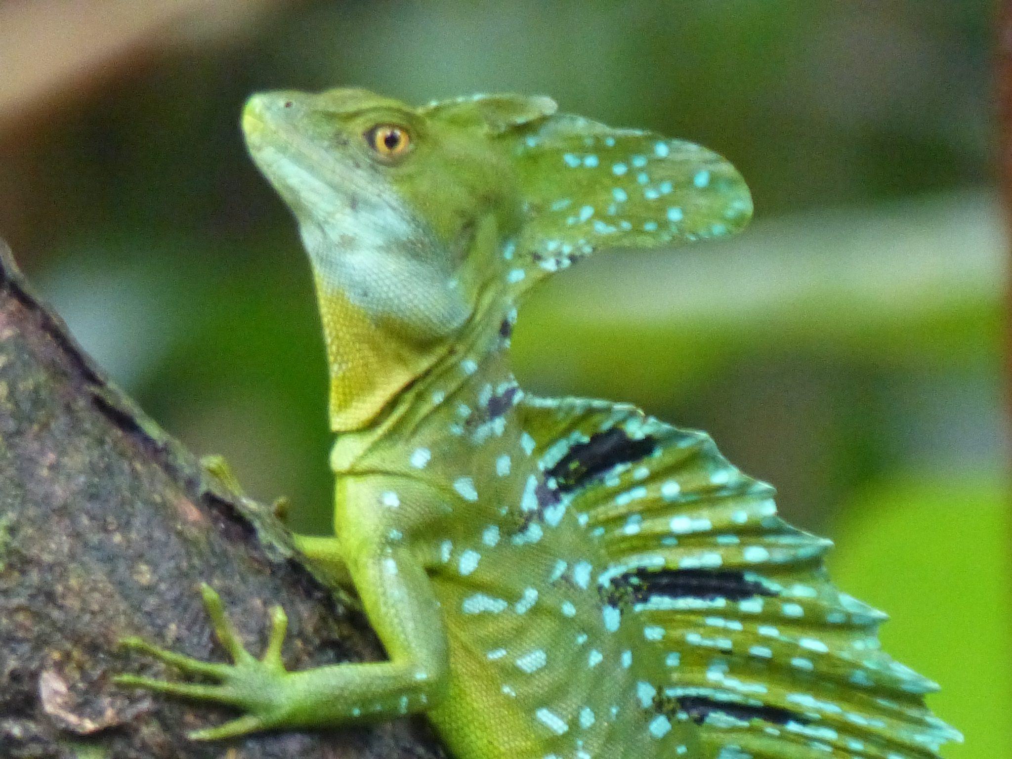 Jesus Lizard Tortuguero, Costa Rica