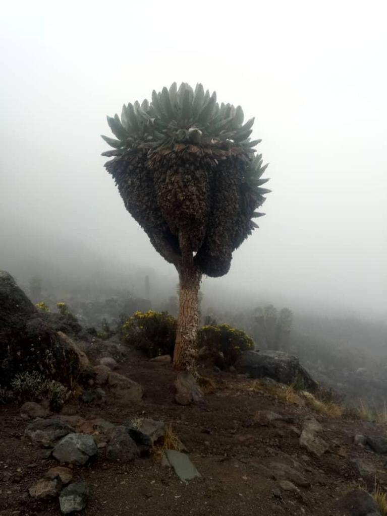Lava Tower to Baranco Wall, Lemosho Route, Mount Kilimanjaro, Tanzania