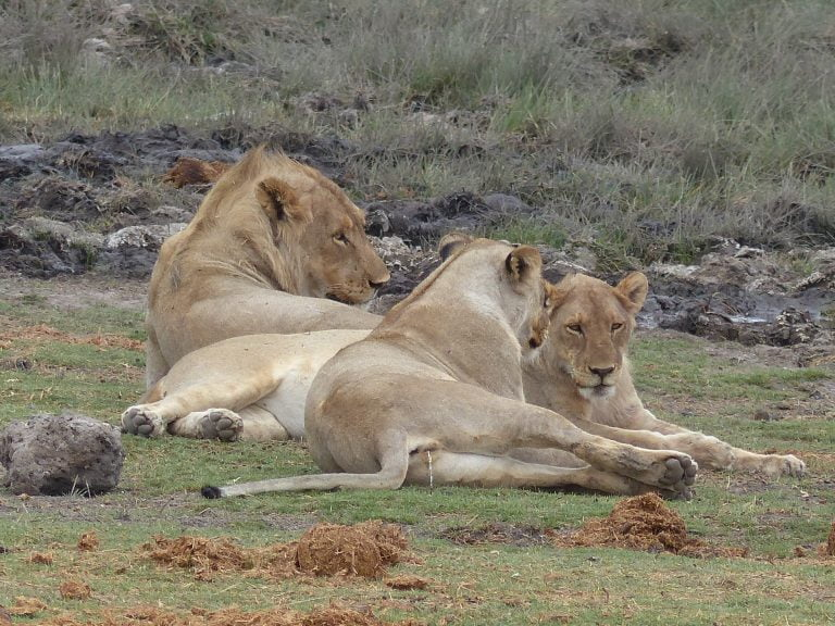 Lions, relaxing at dusk, night safari, Namibia