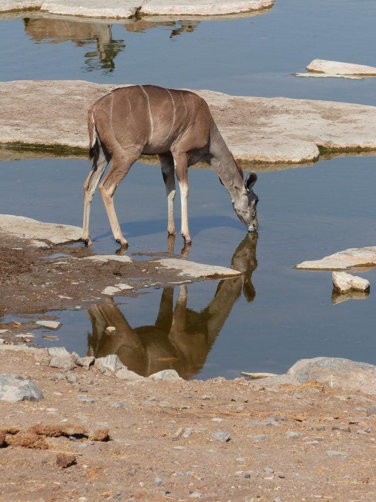Impala drinking at the Water hole, Etosha National Park, Namibia