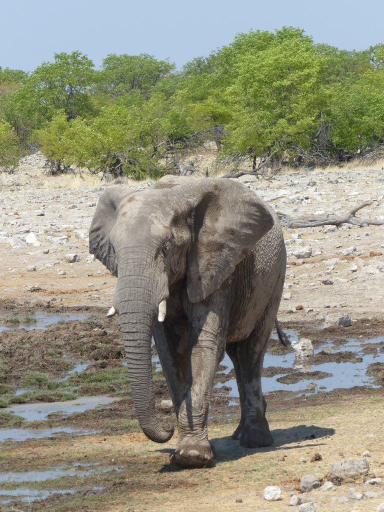 Elephant at the water hole, Namibia