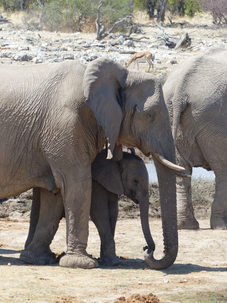 Elephants and young at the water hole, Namibia