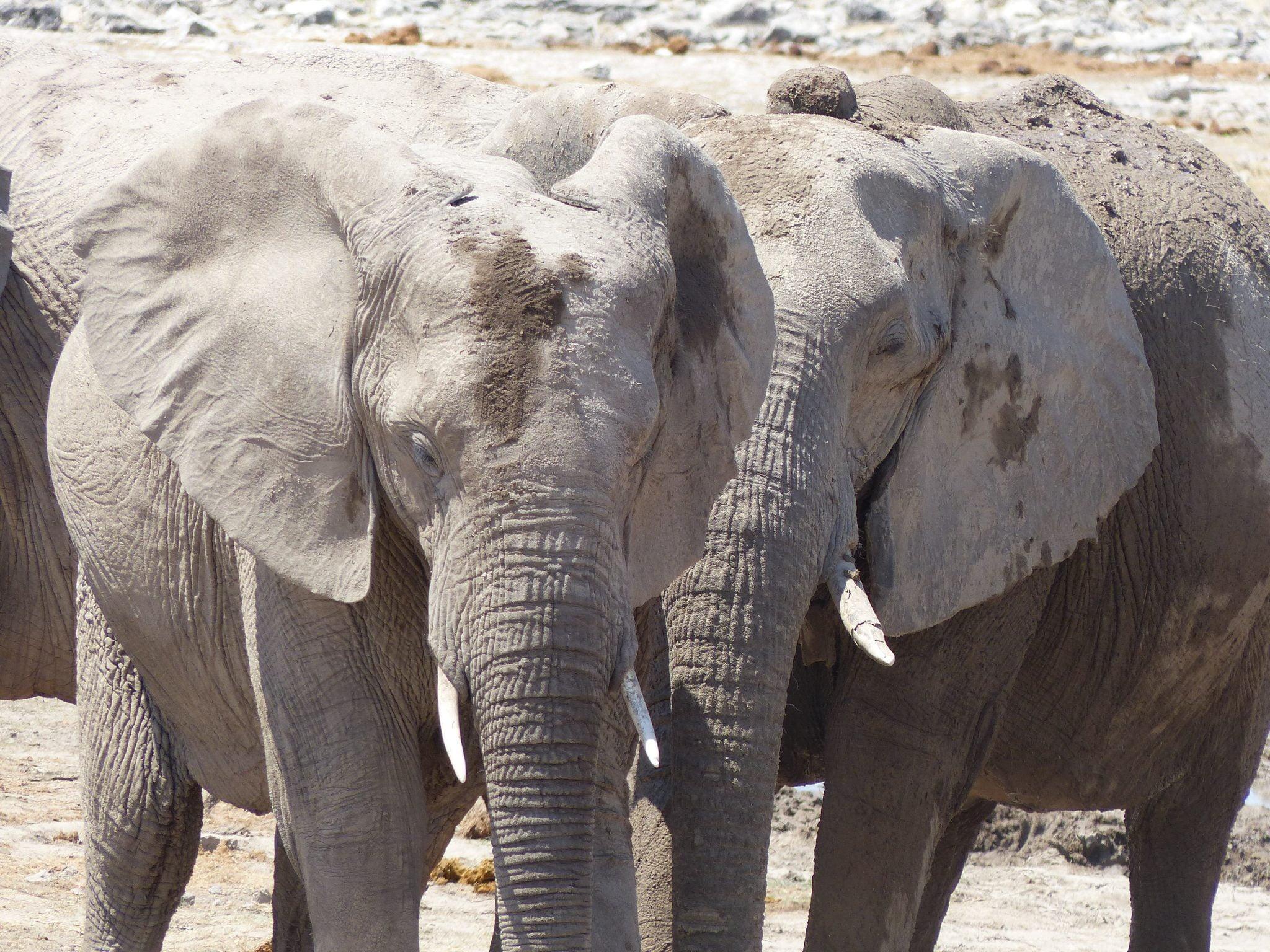 Elephants, Namibia