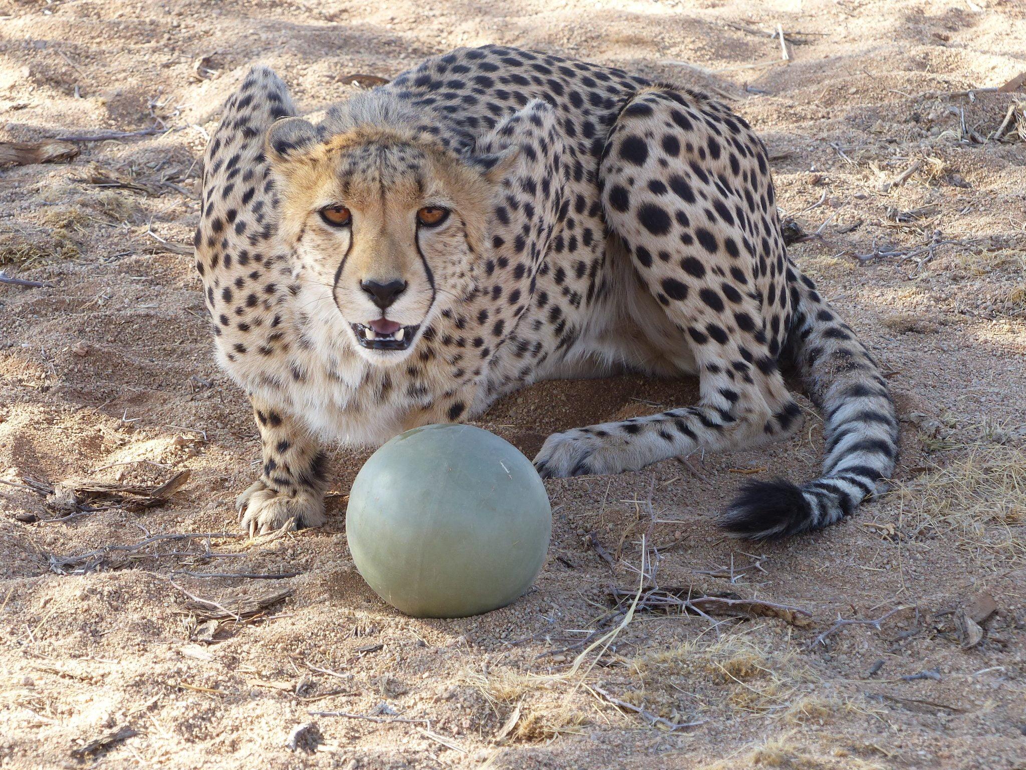 Cheetah, Na'ankuse, Namibia