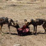 Wild Dogs feeding, Namibia