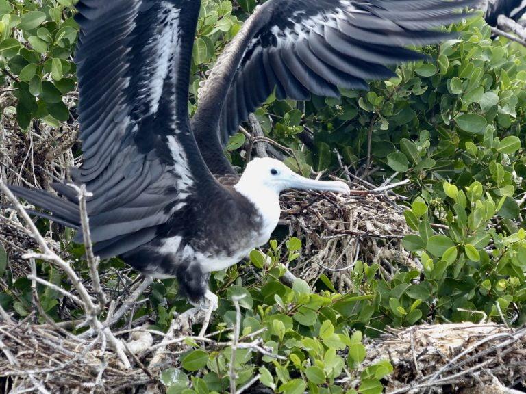Frigate Bird flaps it