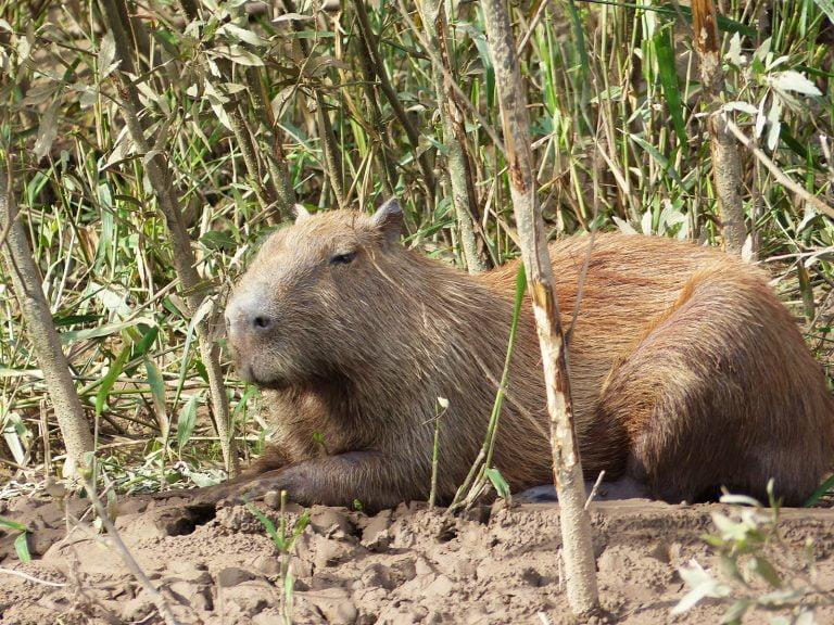 Capybara Close-Up, Amazon, Peru