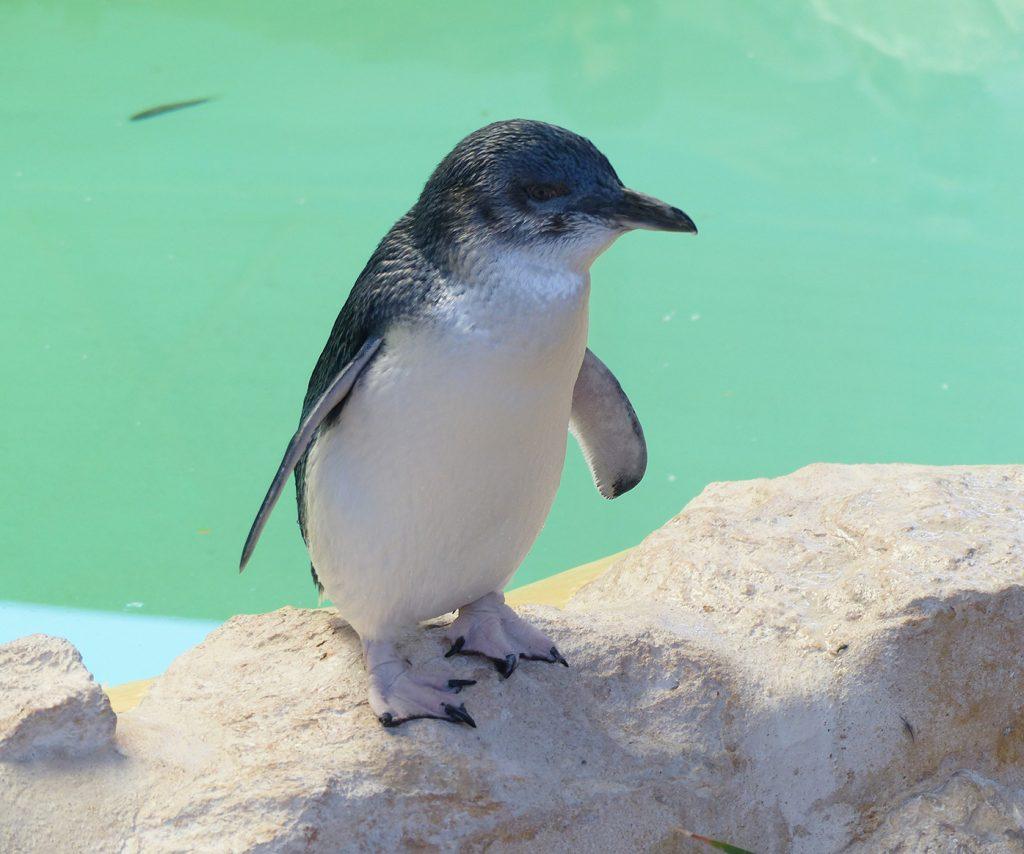 Close up of a Penguin, Western Australia