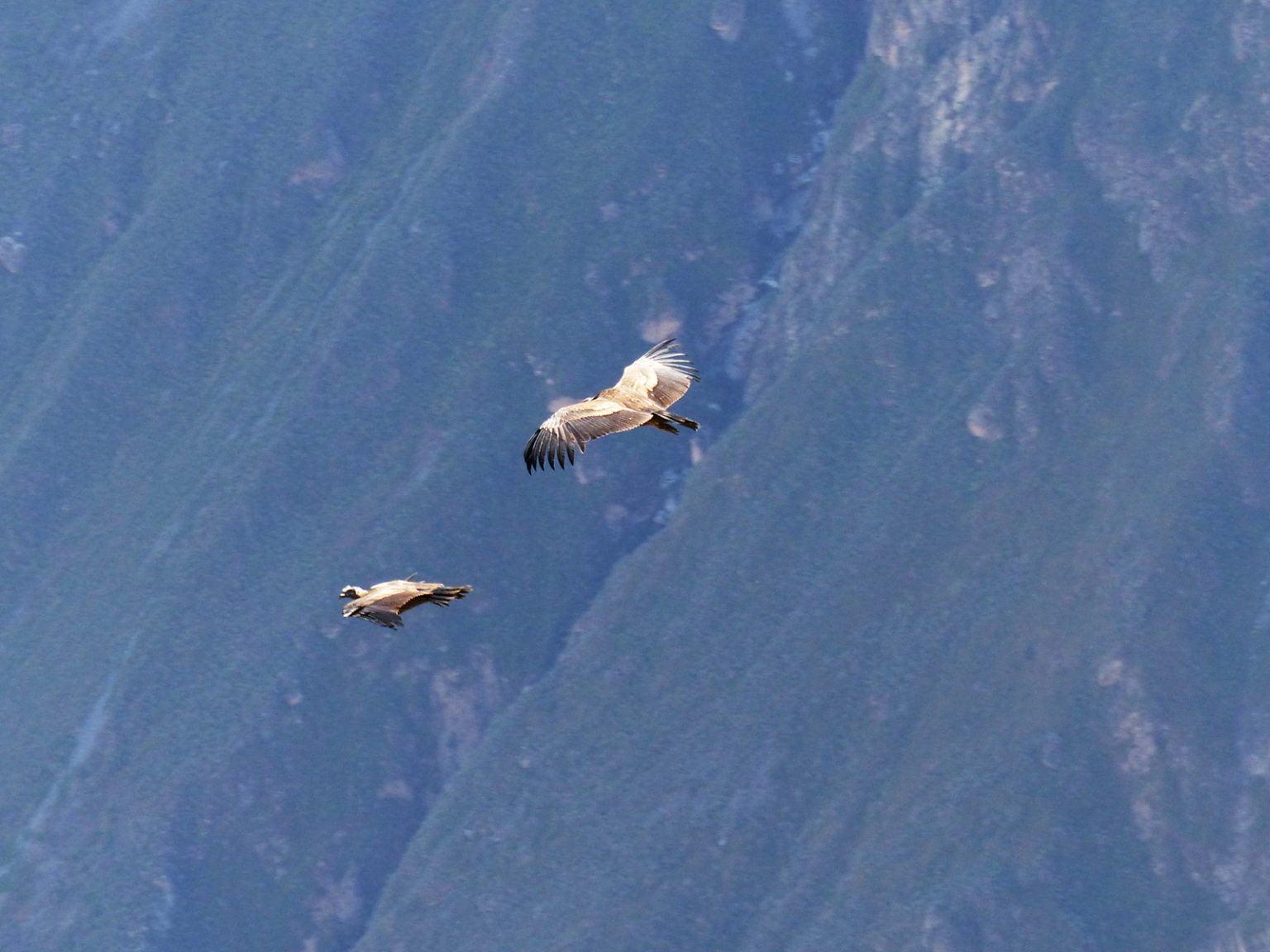 Condor over Colca Canyon, Peru