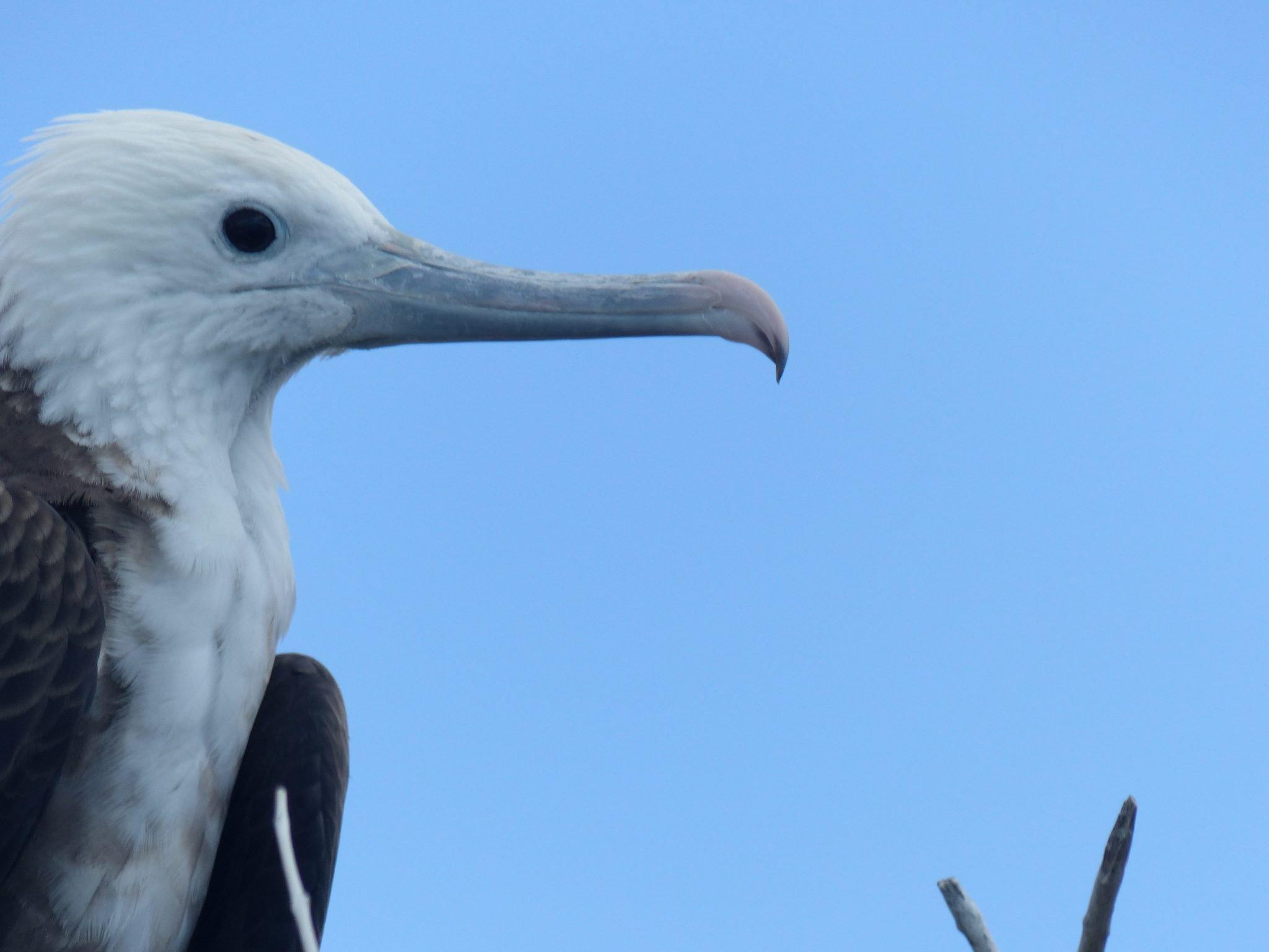 Frigate Bird Sanctuary2