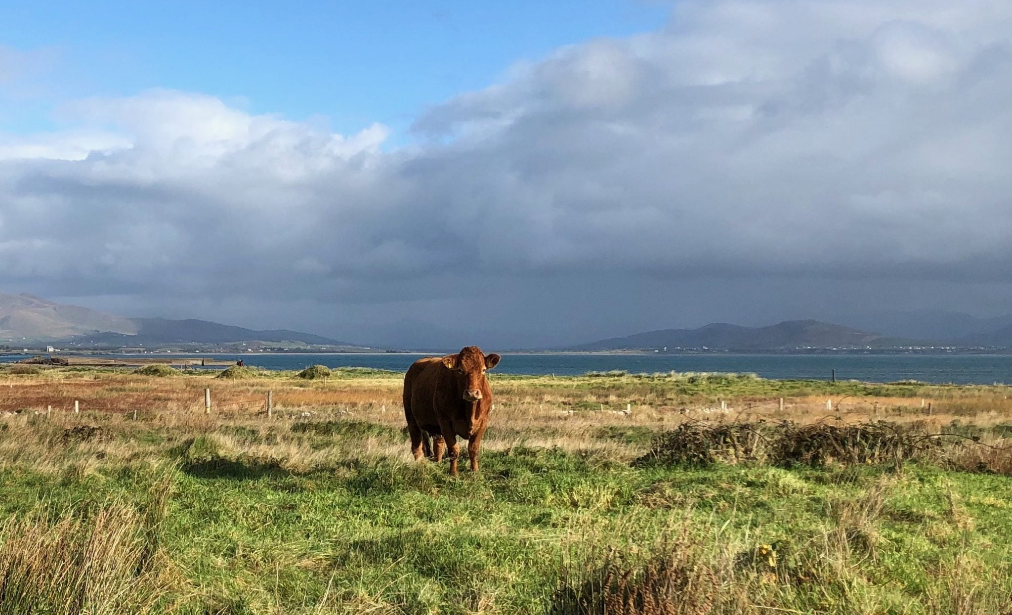 Highland Cattle, Ring of Kerry, Ireland