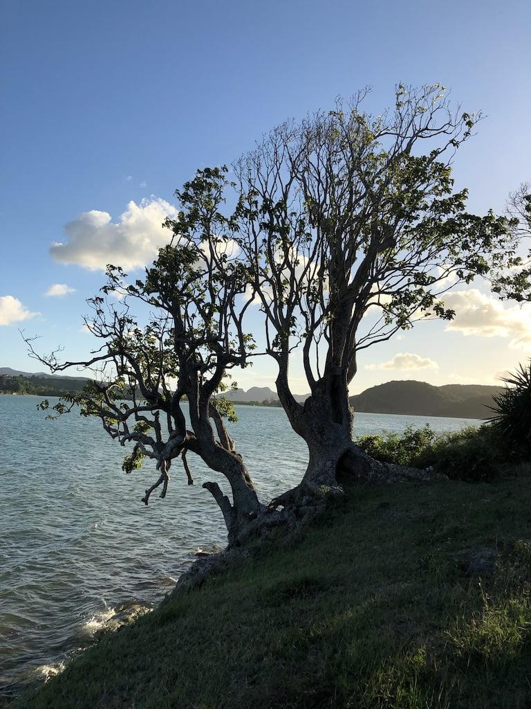 Tree on the cliff edge, Antigua