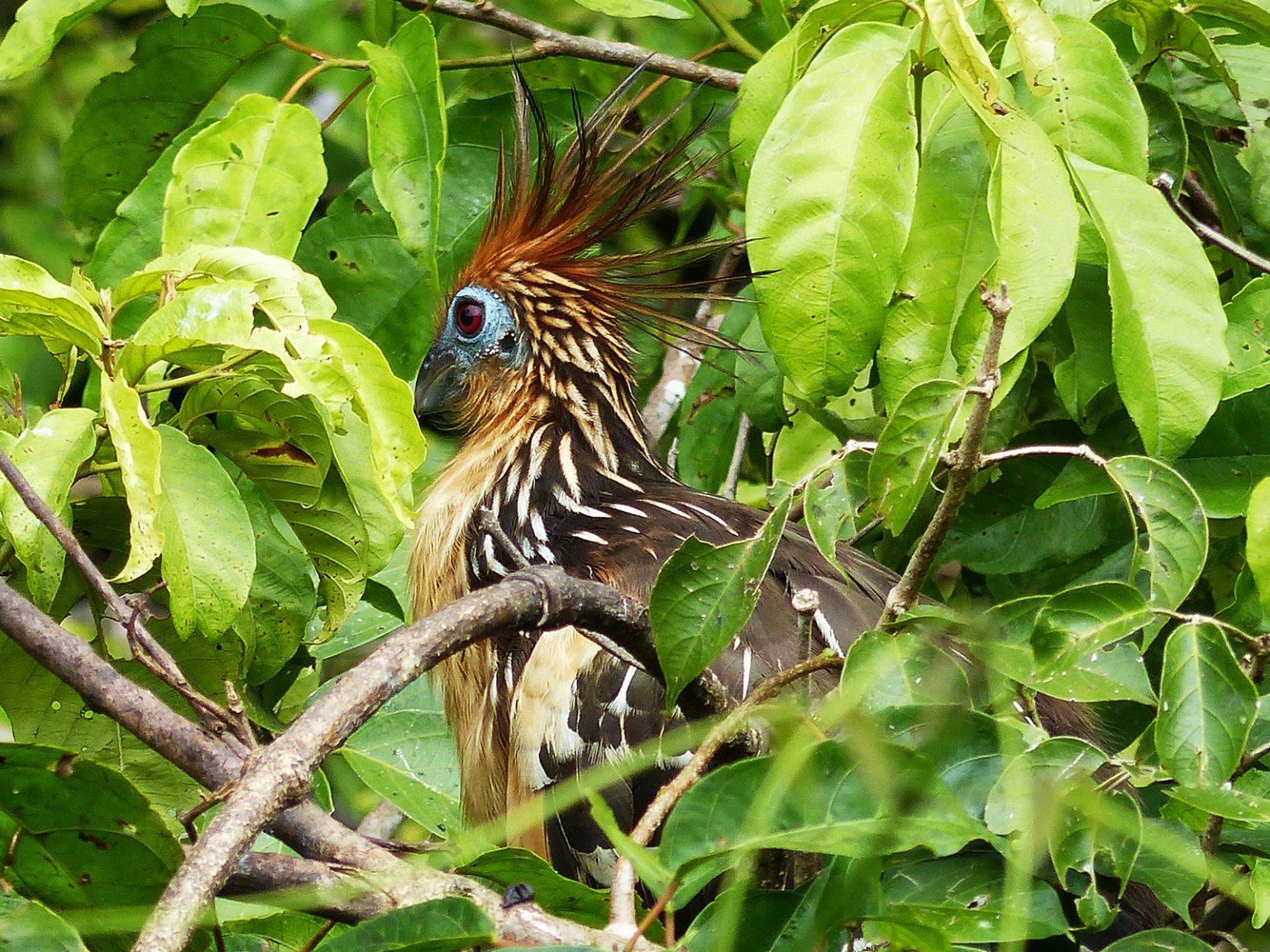 Exotic Hoatzin bird of the Amazon, Peru