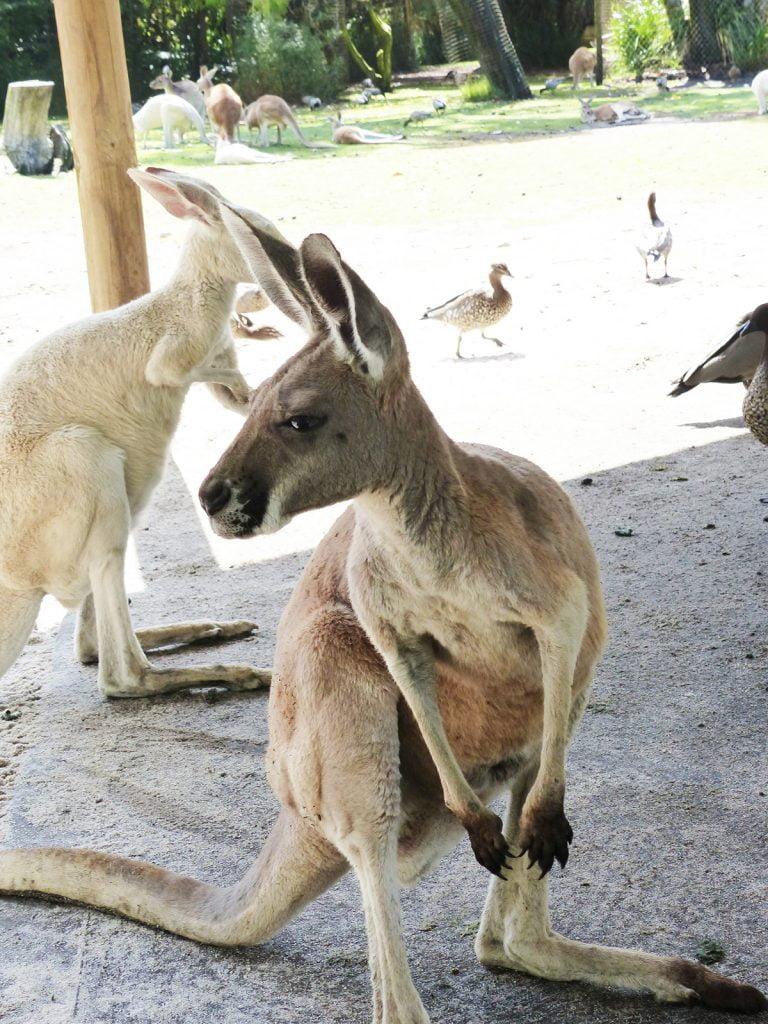 Kangaroos, Western Australia