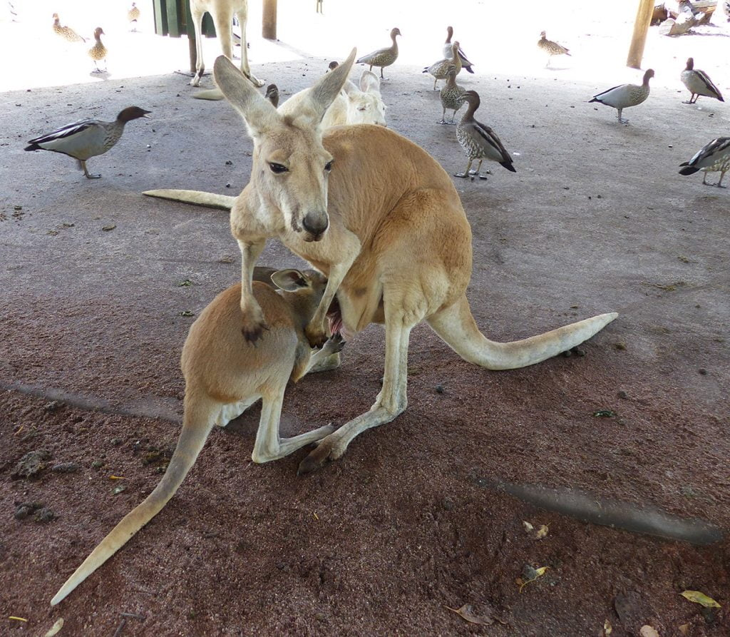Kangaroos and Ducks, Western Australia