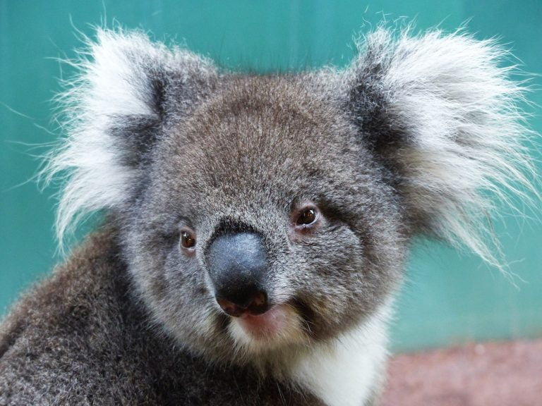 Koala close up, Caversham Wildlife Park, Western Australia