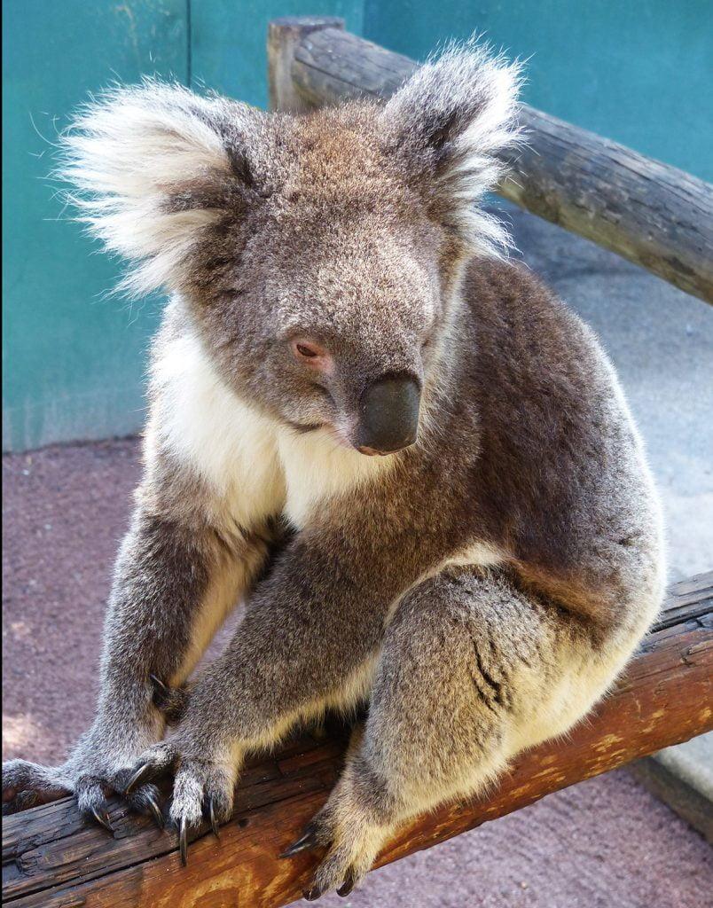 Kola on fence, Western Australia