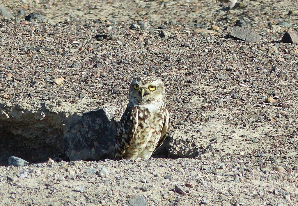 Owl at Chauchilla, Cemetary, Peru