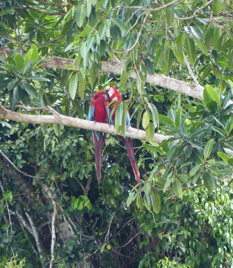 Parrots, Amazon Rain forest, Peru