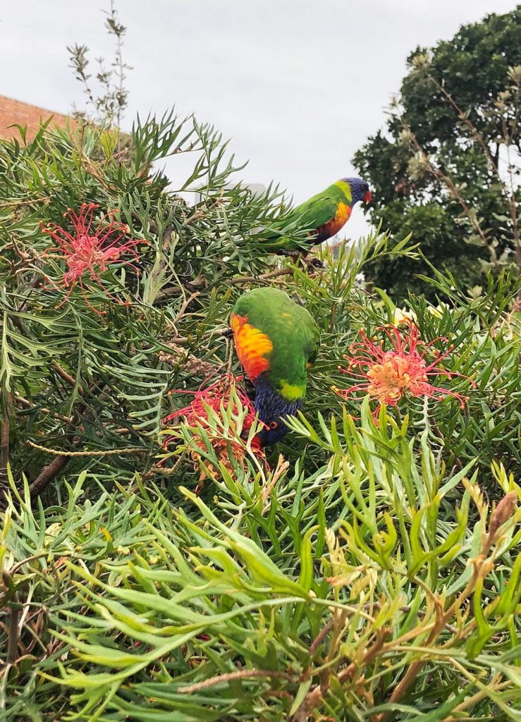 Parrots-Bondi-to-Coogee