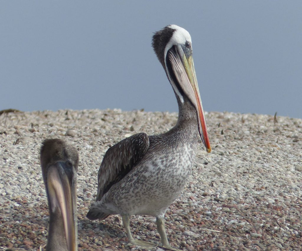 Pelican, Close-Up, Baleastas Islands, Peru