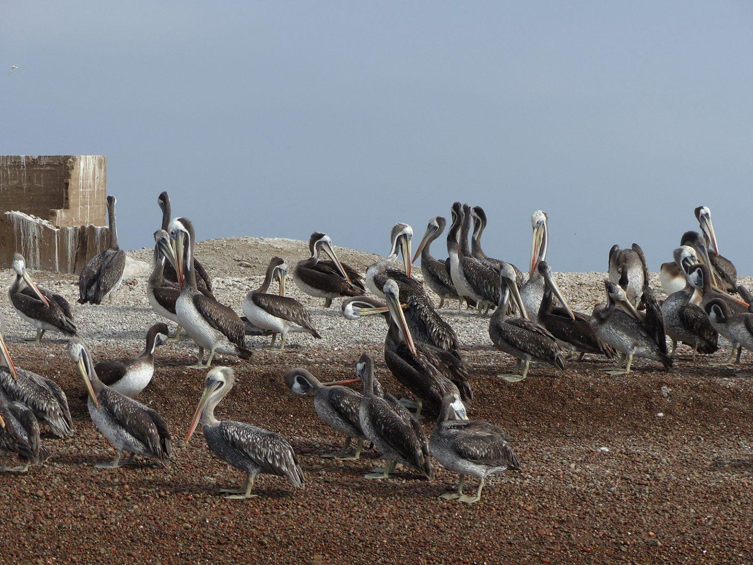 Pelicans on the beach, Baleastas Islands, Peru