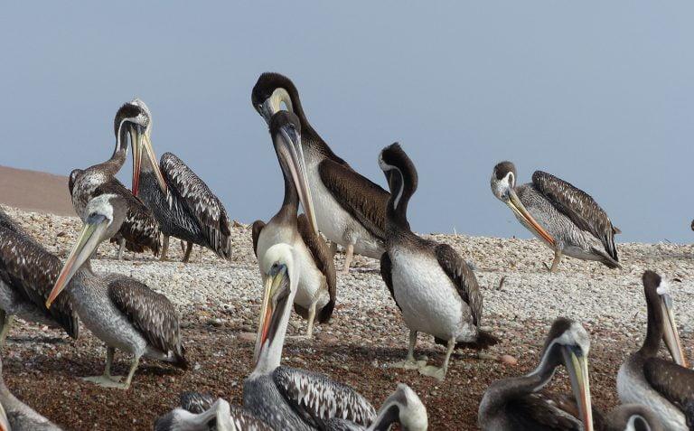 Pelicans of the Baleastas Islands, Peru