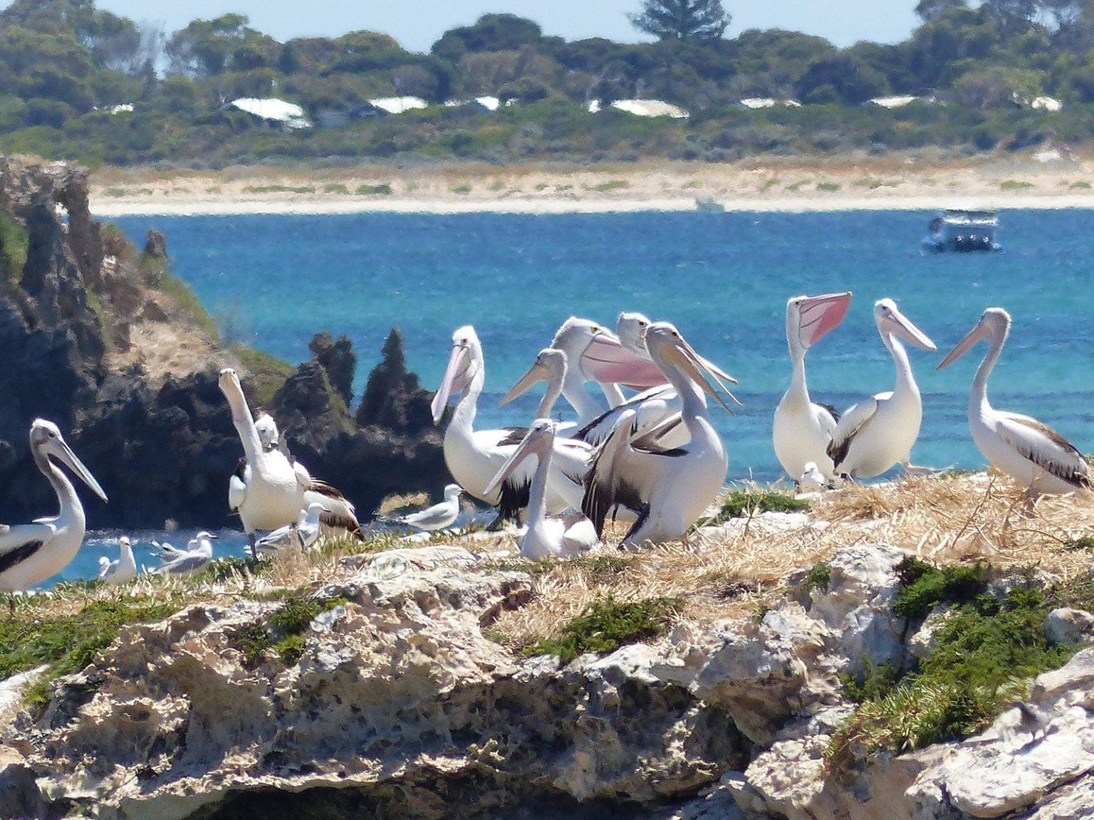 Pelicans on the beach, Western Australia