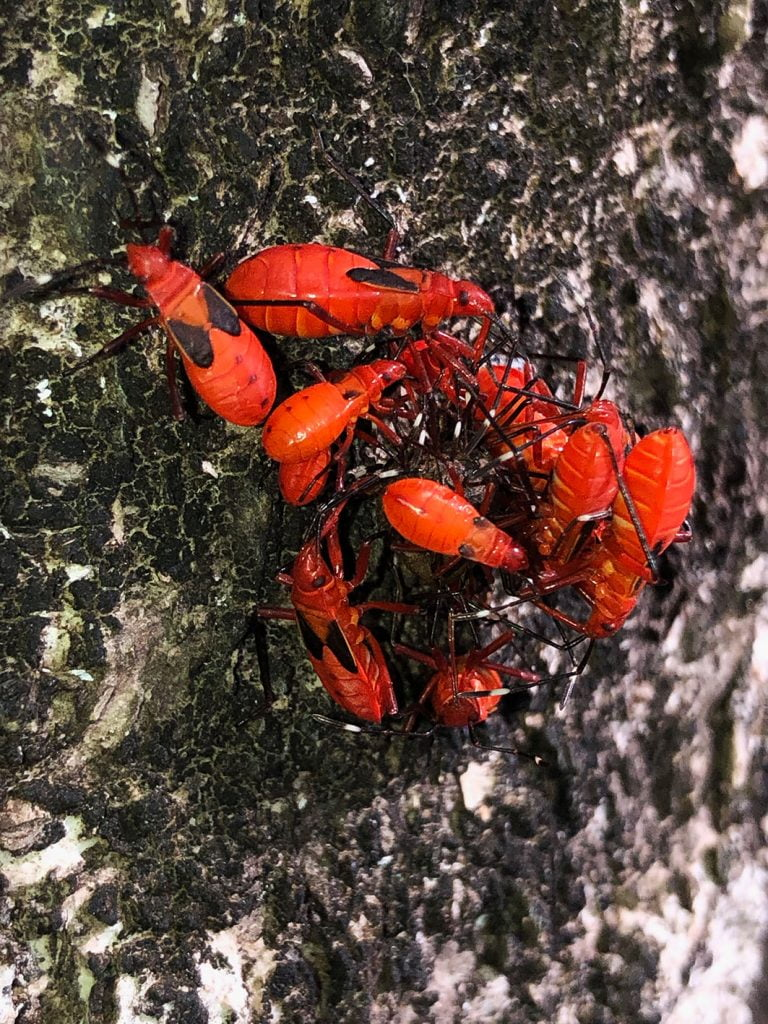 Red Insects on a tree, Martinique, Caribbean