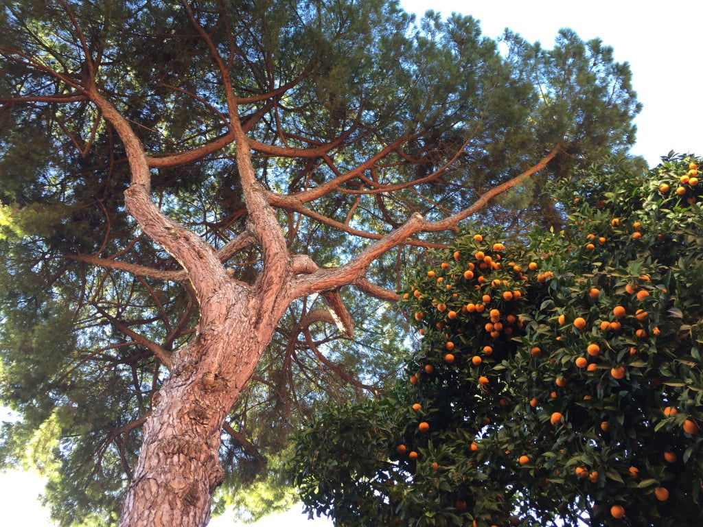 Orange Trees, Rome, Italy