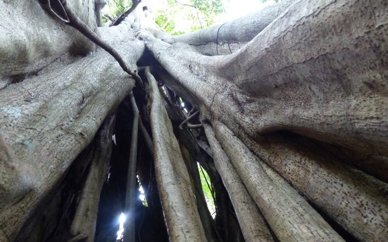Tree Tracks, Amazon Rain forest, Peru