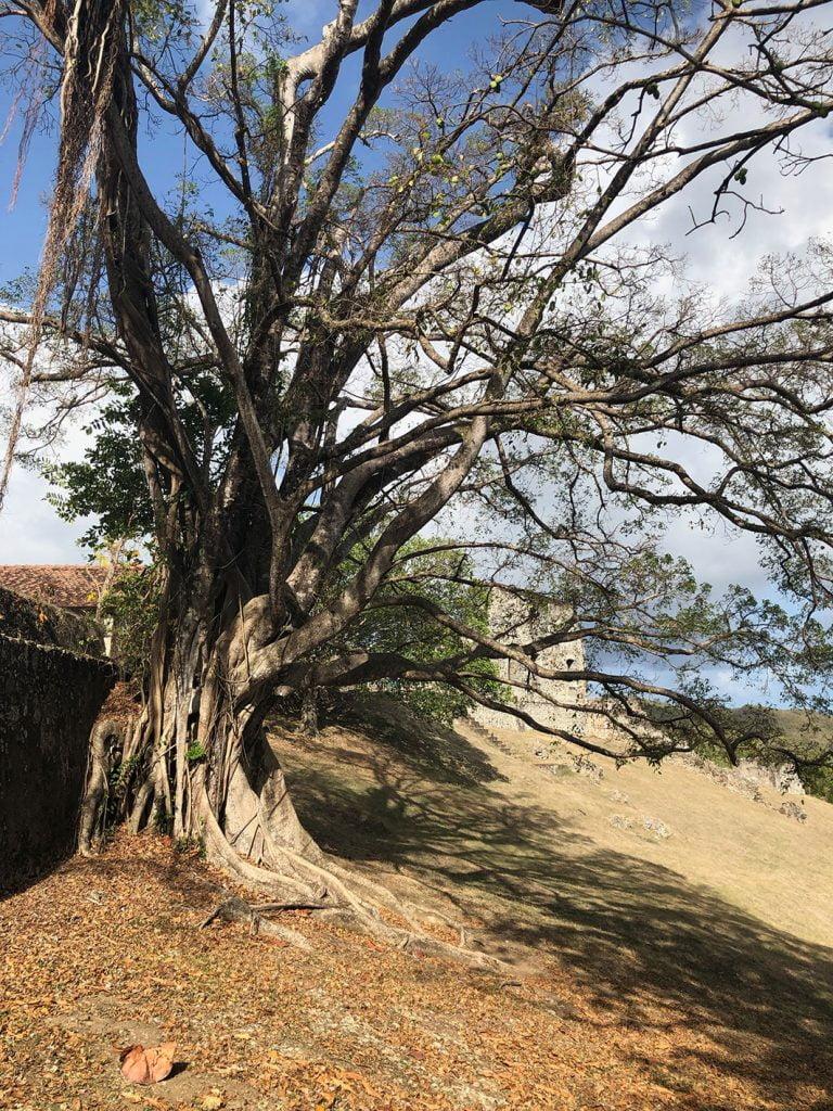 Old tree, Plantation ruins, Martinique, Caribbean