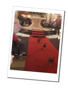 The famous ducks on parade, the Peabody hotel, Memphis
