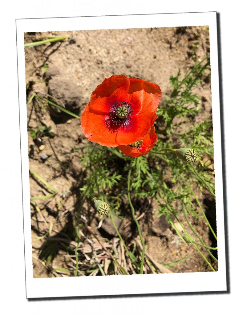 A wild poppy, Quilotoa Loop - Top 16 Tips for Hiking as a Woman Alone