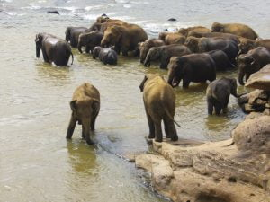 A herd of Elephants, cool off in the river, Sri Lanka