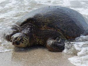 Turtle, Oahu, Hawaii