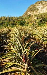 Pineapples, Los Acuáticos, Vinales